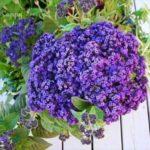 Цветок гелиотроп: фото, посадка и уход - Новости