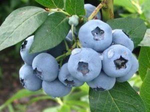 Голубика садовая - посадка и уход в открытом грунте - Посадка растений Сорта Уход
