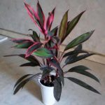 Кордилина: уход в домашних условиях, сорта и фото - Посадка растений Сорта Уход