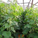 Выращивание огурцов в зимней теплице - Посадка растений Уход