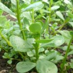 Портулак - посадка и уход в открытом грунте из семян - Посадка растений
