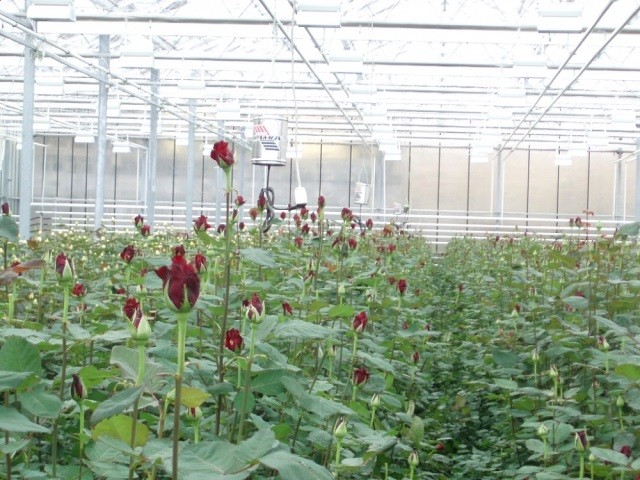 Розы в теплицах - Новости