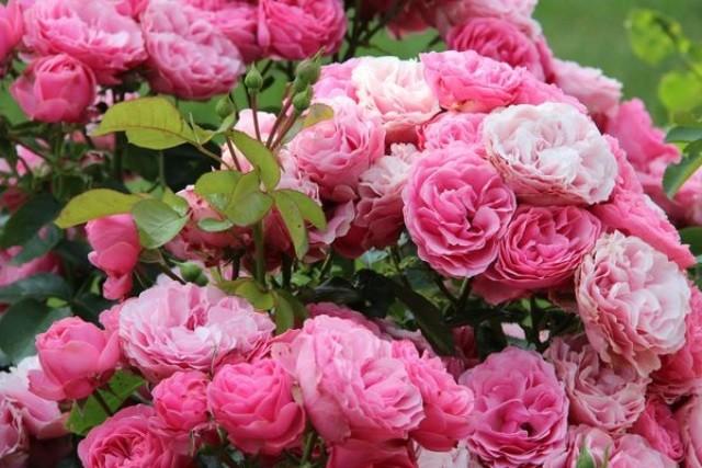 Разновидности роз - сортовые группы - Сорта