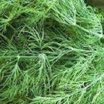 Как вырастить укроп в домашних условиях - Посадка растений Уход