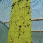 Паутинный клещ: чем обработать огурцы от вредителей - Вредители и болезни