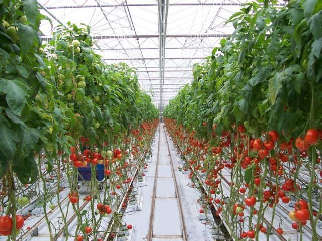 Посадка рассады помидор и формирование куста - Посадка растений