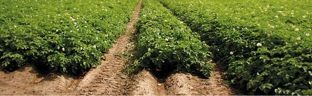 Метод мульчирования грядок - Почва и грядки