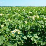 Как выращивать урожайный картофель - Посадка растений
