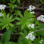 Ясменник душистый - Посадка растений