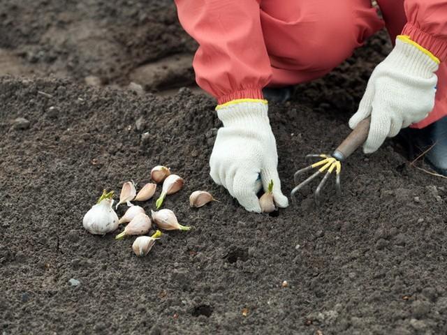 Размножение тюльпанов - Посадка растений