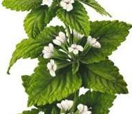 Мелисса лекарственная или лимонная мята - Лекарственные растения
