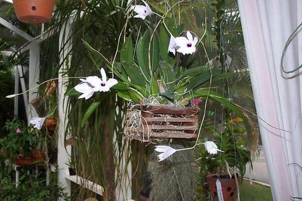 Виды и сорта орхидей для начинающих - Сорта