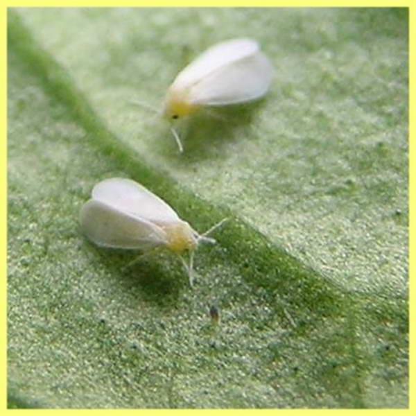 Вредители орхидей: лечение от паразитов - Вредители и болезни