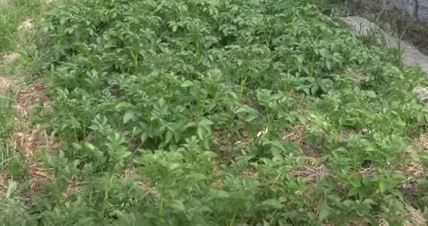 Как сажать картошку под солому: поэтапная технология - Посадка растений