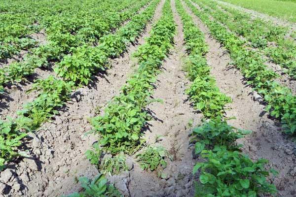 В Архангельской области выведено 3 новых сорта картофеля - Сорта