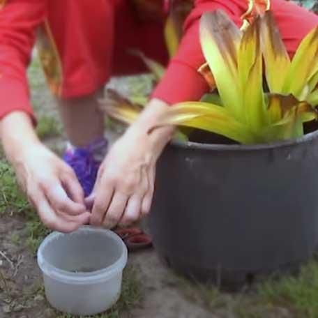 Безвременник ядовитый: как сажать колхикум - Посадка растений Уход