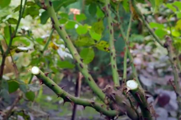 Подготовка роз и клематисов к зиме: обрезка, окучивание, укрытие - Содержание Уход