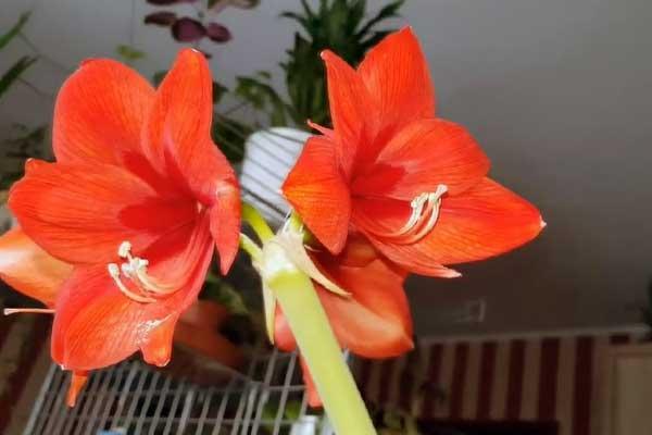 Амариллис Ред Лион - Сорта